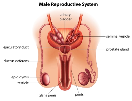 male_reproductive_system